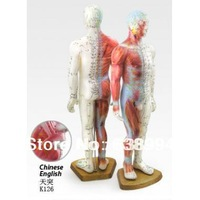 English User Manual Male Human Acupuncture Points and Muscle Model 55CM