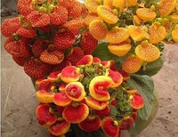 Free Shipping Calceolaria Fresh Seeds, Mixed Colors, 90%+Germination (150 Seeds)SD1500-0317