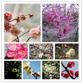 Bonsai seedlings chimonanthus red plum seedlings green pearl yemei