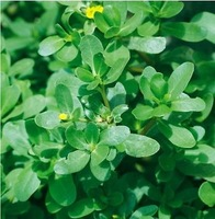 Free Shipping Green Purslane Herbal Seeds, Portulaca Oleracea Herbal Seeds (100 Seeds)SD1624