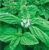 Free Shipping Green Large Leaf Basil Herb Seeds, Ocimum Basilicum Seeds (50 Seeds)SD1614