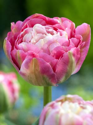Tulip bulbs - 20pcs/lot(China (Mainland))