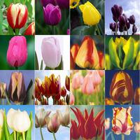 Tulip bulbs seeds hydroponic type  - 10 pcs/lot