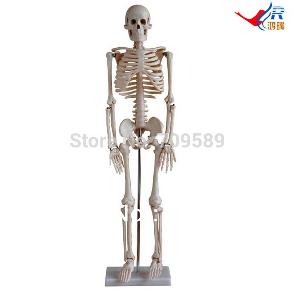ISO 85-cm Skeleton Articulated, Full Body Human Skeleton Model(China (Mainland))