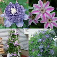 Clematis bonsai clematis climbing plants clematis  big  - one Seedling