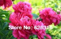 18pcs/lot Pink, rose red, Paenoia albiflora peony seeds bonsai garden flower seeds DIY home plant seeds
