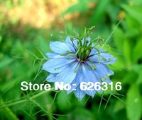 90pcs/ lot Love-in-a-mist Devil-in-the-bush flower seeds bonsai seeds DIY garden flower plant seeds