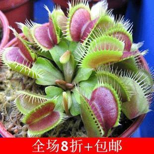 Семена 10PCS горшке Насекомоядные завод Дионея Muscipula Гигантский Клип Венера мухоловка Семена