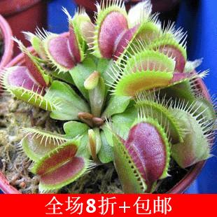 10PCS Potted Insectivorous Plant Seeds Dionaea Muscipula Giant Clip Venus Flytrap Seeds(China (Mainland))