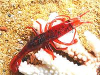 Free shipping, 30pcs high quality, 7 cm burgundy software prawns, cheap