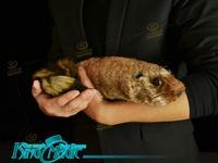 Robbie Raccoon-Free Shipping-magic tricks toys-King magic wholesale