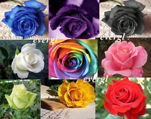 70pcs RARE Rainbow Rose Flower Seeds Your Lover Multi Color Plants Home Garden(China (Mainland))