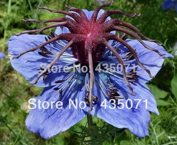 100 Grams Approx. 40,000 Black Cumin nigella sativa Roman coriander blue Flower Bulk Seeds B0063(1)(Hong Kong)
