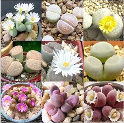 Minimum order 5 $ 20pcs * Health and stone flower seeds Imported from Germany KK * Free shipping(China (Mainland))