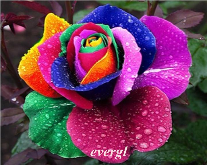 Rare 100 rainbow rose fleur graines, votre amant multi couleur plantes maison jardin