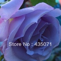 Heirloom 100grams approx.10000 seeds Climbing Rose Seeds Climber Blue Moon Perennials Flower  Seeds supply free shipping
