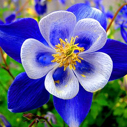 Blue Color Rain Lily Bulb Flower Fragrant Bonsai Balcony Ornamental Miniscape