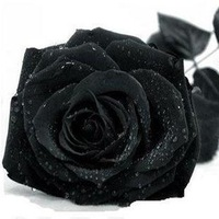Free Shipping 100 Seeds China Rare Black Rose Flower