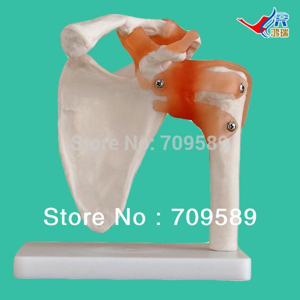Shoulder Ligament Model Anatomical Shoulder Model