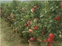 Apple Tree Seeds 1 pack about 20 pieces, bonsai apple tree DIY Countyard.