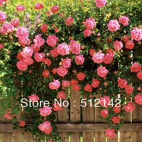1 pack about 200 pieces rose seeds, Pink Climbing Rose Seeds ! Shipping by China Post !