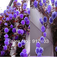 1 pack about 200 pcs purple climbing rose seeds, China Climbing rose seeds !
