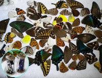 30pcs real butterfly wings,3D Butterfly specimens wings,Real Dried Moth butterflies wings for ring/earrings/framed butterflies