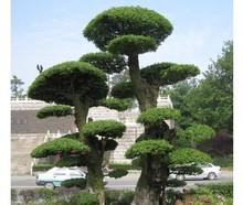 ash tree promotion