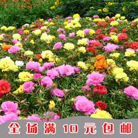 Wang Tong flower seeds flower seeds sunflower seed Portulaca plants seeds 4 yuan 1000