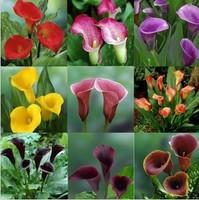 Flower plants bonsai multicolour calla lily,calla lily seed type,pure love -40 pcs,Free shipping