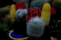 Free Shipping 1 Packs 10 Seeds Mixture Of Cactus Seeds