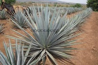 Tequila seed 20pcs free shipping Agave tequilana TEQUILA AGAVE Exotic SEEDS!