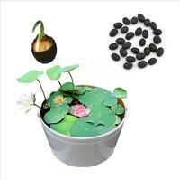 Bonsai nelumbo nucifera mini lotus seeds small water lily seeds hydroponic bonsai bowl lotus seed bag  20 seed