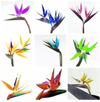 20 PCS Annual Indoor Potted Plant Flowers Strelitzia Reginae Seed Bird Of Paradise Seed DIY His Garden Free Shipping