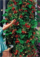 50pcs/lot free shipping climbing strawberry seeds for DIY home garden