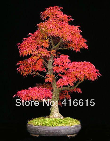 online kaufen gro handel mini maple tree aus china mini. Black Bedroom Furniture Sets. Home Design Ideas