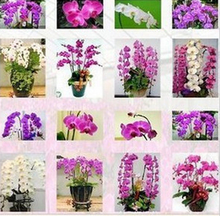 free shipping Phalaenopsis seeds flower seeds cattleya flower phalaenopsis butterfly orchid seeds  - 100 pcs(China (Mainland))
