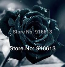 popular black rose seed