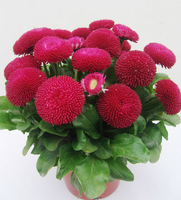 Free Shipping 5 Packs 250  Daisy Flower Seeds,Bellis Perennis Seed