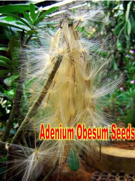 Adenium Obesum Seeds Propagation Adenium Obesum Seeds