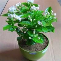 Free shipping/Min 15usd/50 PIECES WHITE Jasmine Seeds fragrance for air purification /arabian jasmine flower