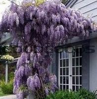 20pcs/bag hot selling Purple Wisteria Flower Seeds for DIY home garden
