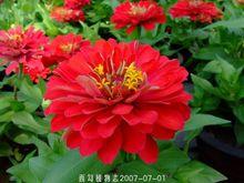 Flor Zinnia Gigante Dahlia florescido Scarlet, Zinnia elegans 100 sementes(China (Mainland))
