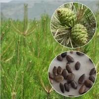 Millennium Plants ,30 Piece Five-Leaved Pine Tree Seeds Potted Landscape Japanese Five Needle Pine Bonsai Miniascape Seeds