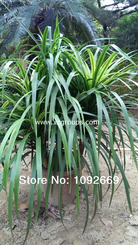 Dracaena 40 55 cm flor folhagem ornamental planta paisagem - Bambu planta exterior ...