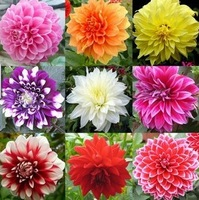 Free Shipping, 20pcs/lot Mixed Colors Dahlias Seeds For DIY Home Garden