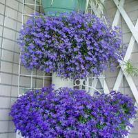 Flower seeds butterfly shape moth, butterfly flower drunken butterfly flower seeds flower bonsai indoor bonsai