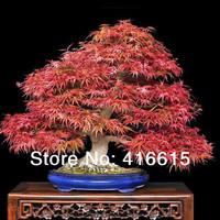 "60 Japanese ""Atropurpureum"" Maple Bonsai Seeds - Acer Palmatum Atropurpureum - Exotic Bonsai Tree - Japanese Red Maple"