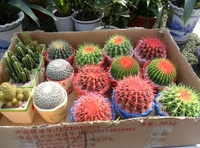 Celestial being seeds - cactus - potted plant seeds family anti-radiation 10 bags/package free shipping