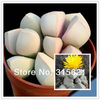 LAPIDARIEA Margarethea  Seeds 20pcs Bonsai Succulent Plants Free Shipping